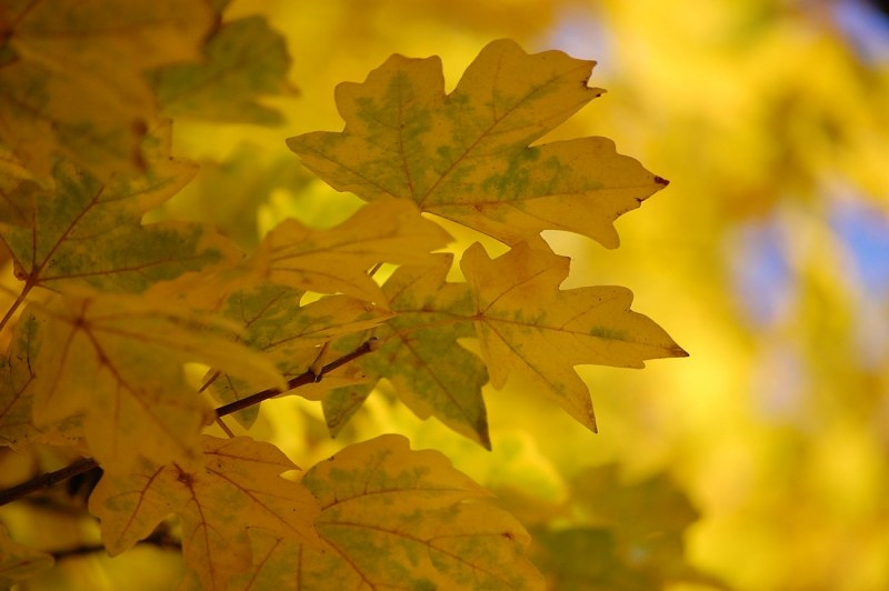 Yellow chestnut leaves