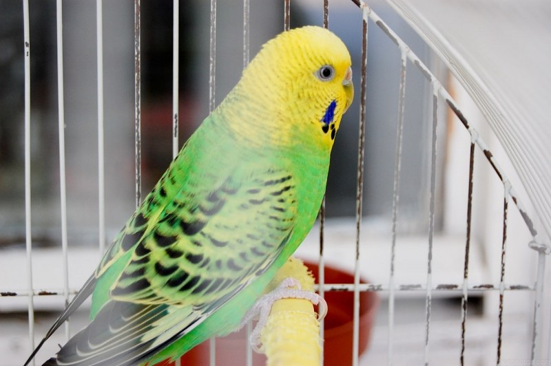 Yellow And Green Parrots Yellow Parrot in a Cage