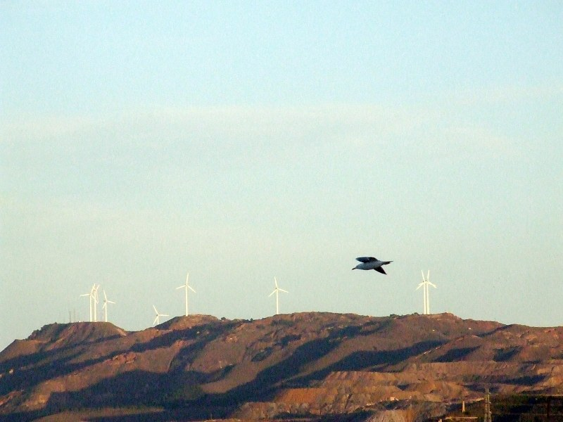 Bird flying in front of a hill with eolian turbines