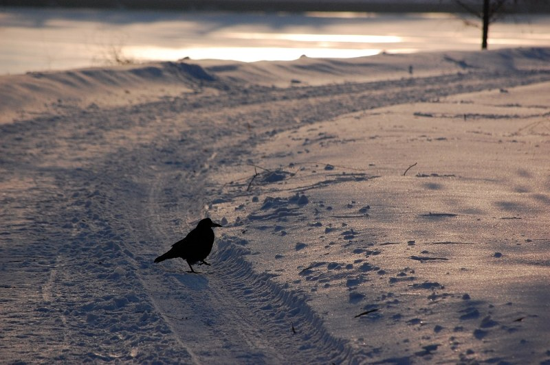 Crow on snowy road