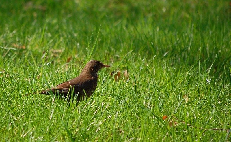 Female blackbird in grass