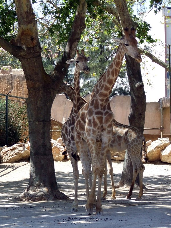 Giraffes between trees