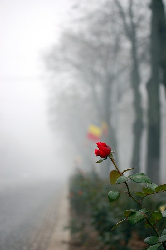 Rose on side of a road with fog