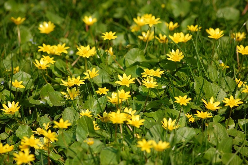 Small yellow flowers in grass free image on 4 free photos small yellow flowers in grass mightylinksfo