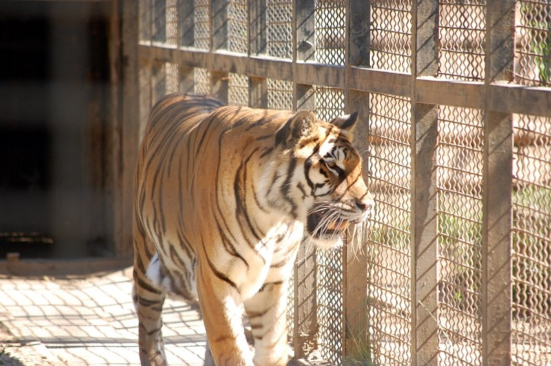 Tiger in cage alegri free photos highres - Tiger in cage images ...