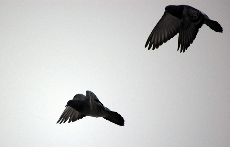 Two pigeons in flight