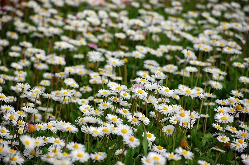 White field flowers