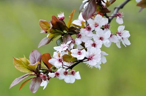 Apple flowers bloom
