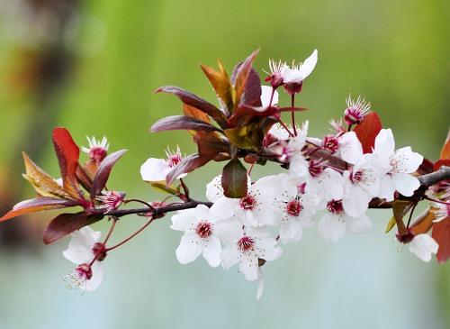 Apple tree branch in bloom