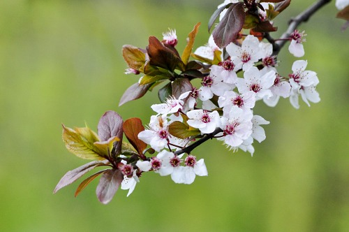 Apple tree branch with flowers