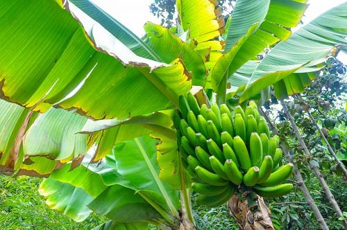 Banana tree with bananas