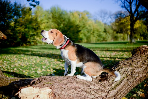 Beagle latir