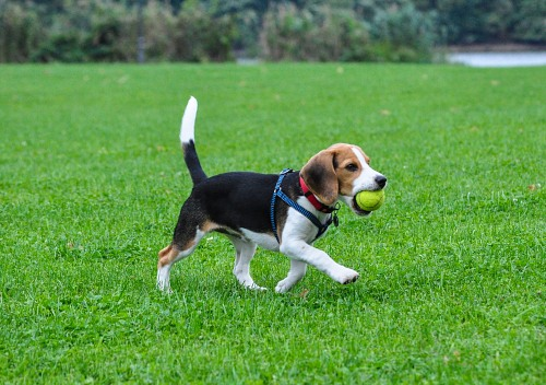 Beagle carrying a ball