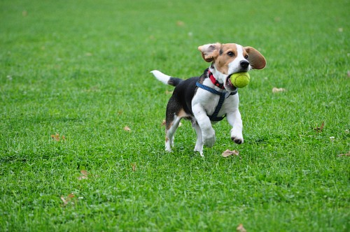 Beagle, attraper un ballon