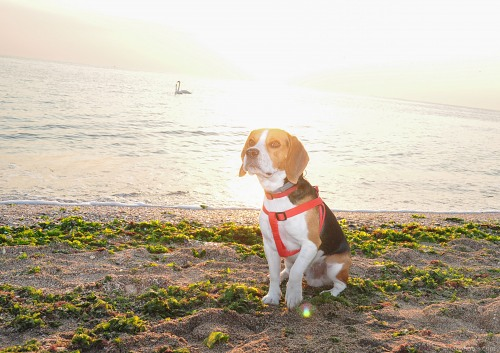 Beagle on beach