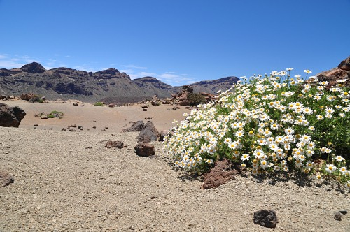 Blooming camomiles in desert