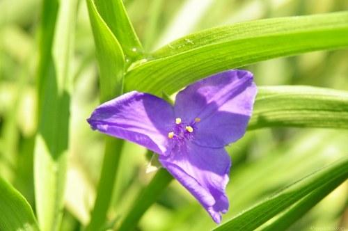 Blue iris garden flower