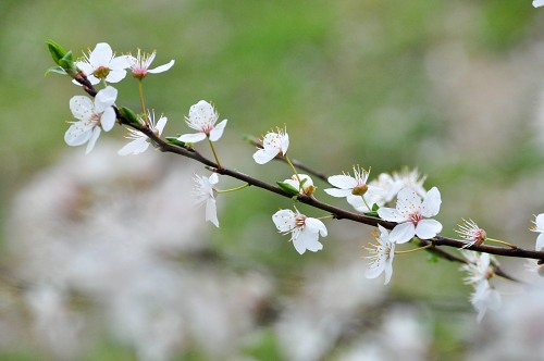 Branch with white bloomed flowers in spring