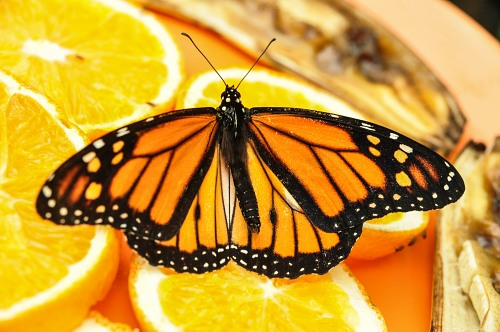 Buttefly orange slices