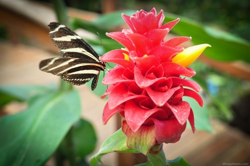 Butterfly tropical red flower