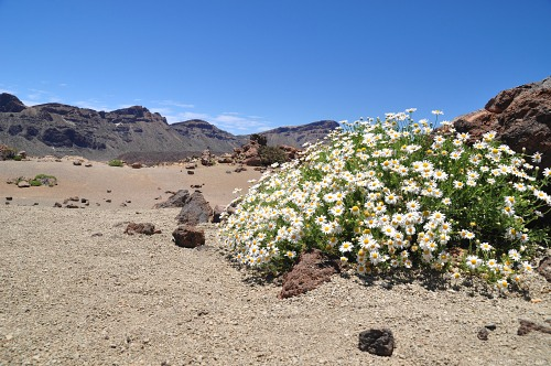 Camomiles blooming  in volcano