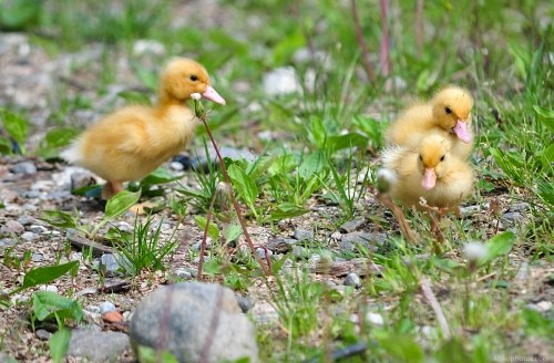 Common duck babies in grass