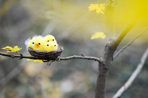 Cute yellow fluffy birds nest in the trees