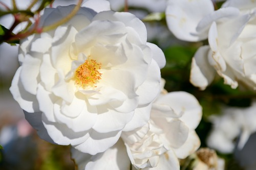 Delicate white rose