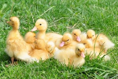 Fluffy yellow ducks