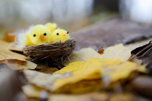 Fluffy young birds nest in leaves