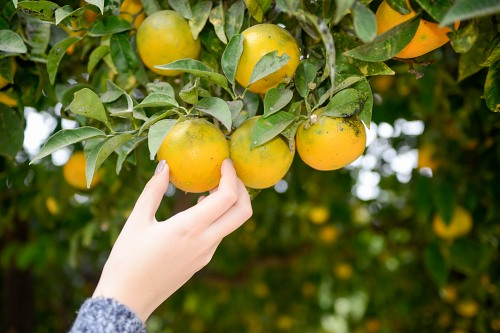 Girl picking up an orange from a orange tree