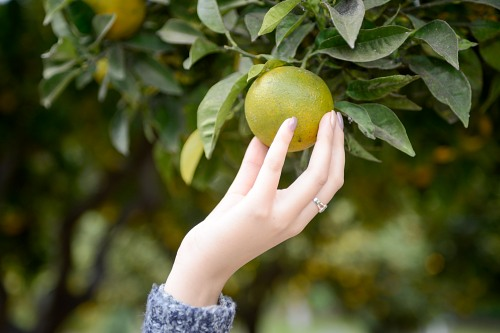 Hand picking ripe orange