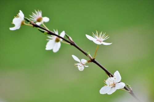 Isolated branch with spring flowers