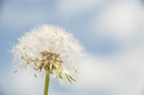Light as a dandelion seed