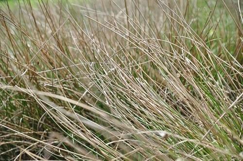 Long swamp grass