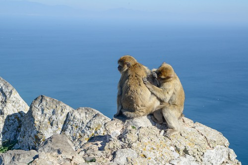 Monkeys on a rock in Gibraltar