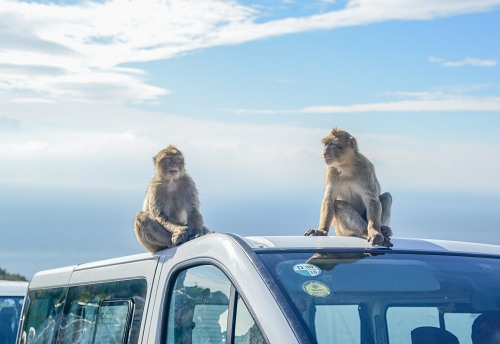 Monkeys on tourist van Gibraltar