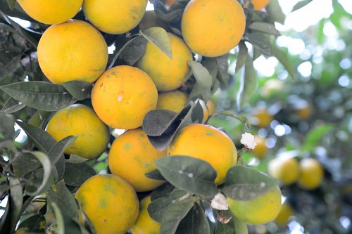 Orange tree branch with fruits