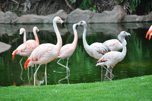 Pink flamingos water