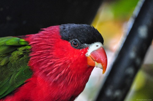 Red head parrot