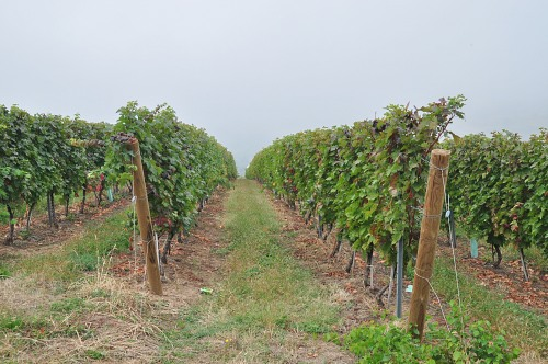 Rows of grape vine