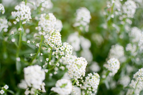 Small white flowers garden