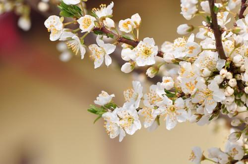 Spring bloom tree