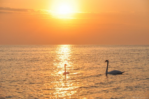 Swans on sea at sunset
