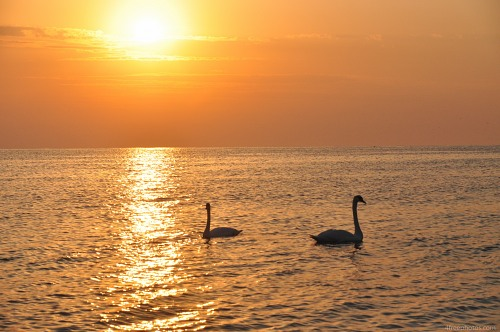 Swans sea sunrise