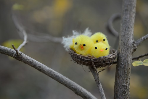 Three young birds nesting in a tree