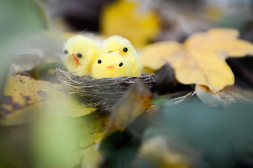 Three young fluffy birds in nest