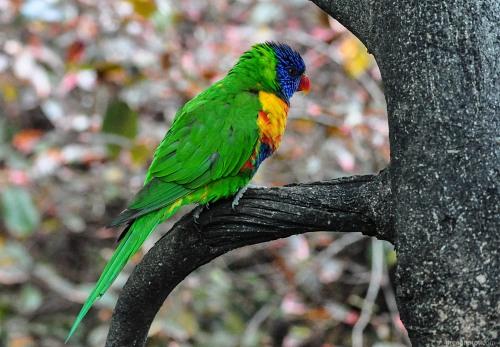 Wild parrot