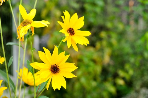 Yellow autumn gerberas