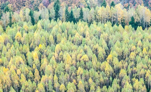 Yellow pine trees line